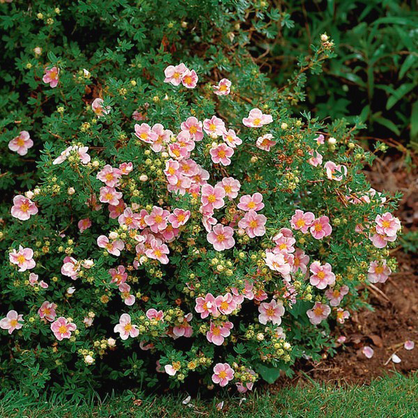 http://sadburg.ru/resources/catalog/potentilla/potentilla-fruticosa-lovely-pink-1.jpg